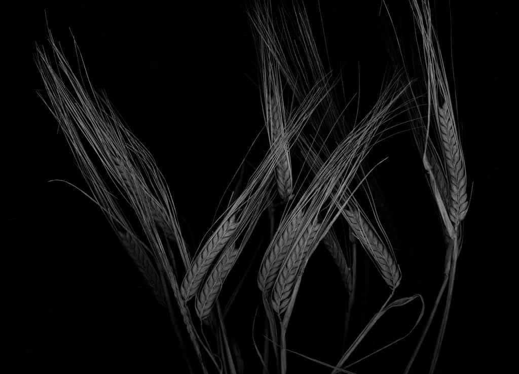 Waterford Barley