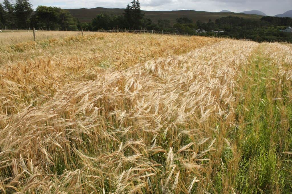 barley harvest promo